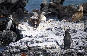 Galapagos-Multisport-Adventure-Day-3-Penguin-and-Boobie-Rock