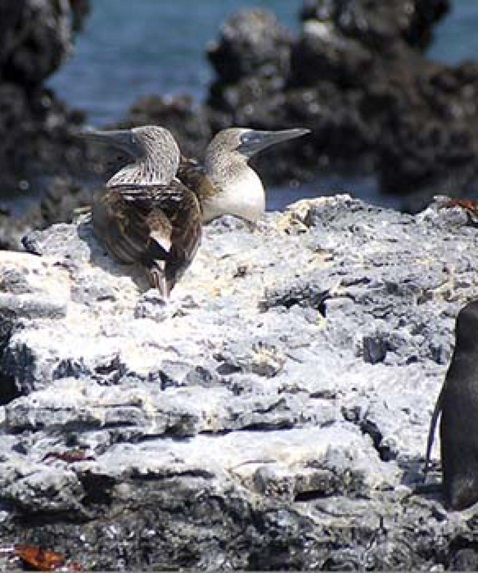 Galapagos-Multisport-Adventure-Day-3-Penguin-and-Boobie-Rock